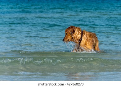 A fully wet Golder Retriever dog playing in the water.