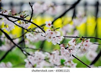 Fully-bloomed cherry blossoms and fields of yellow flowering