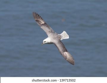 Fulmar in flight against blue sea