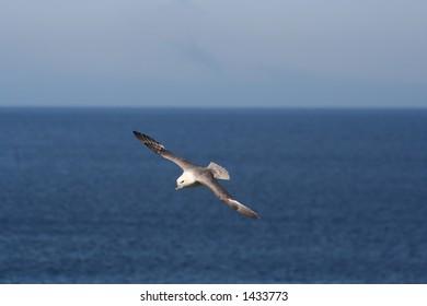 A fulmar flying neart Ghearadha Beach, Lewis, Western Isles