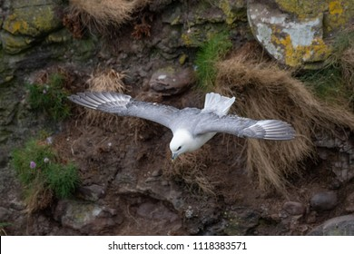Fulmar (Fulmarus glacialis) in flight