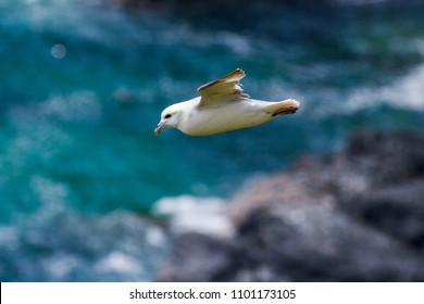 Fulmar (fulmarus glacialis) in flight along Cornish Coastline, UK