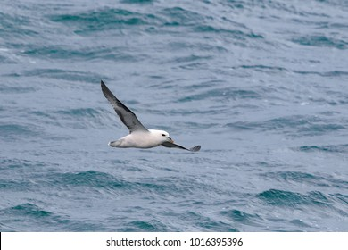 A Fulmar, Northern Fulmar or Arctic Fulmar seabird, Fulmarus glacialis, in flight over the sea in August. Dorset, England, UK.