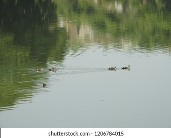 Fulvous/Lesser whistling Ducks in green color water pond