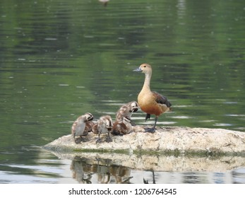 Fulvous/Lesser whistling Mother Duck and   ducklings in pond on a Rock resting