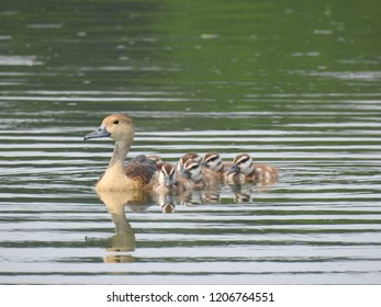 Fulvous/Lesser whistling Mother Duck and   ducklings in pond