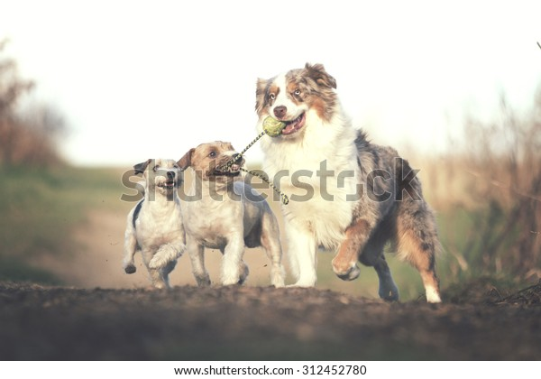 fun australian shepherd dog ( border collie ) running with Parson Russell Terrier and jack russell terrier puppy