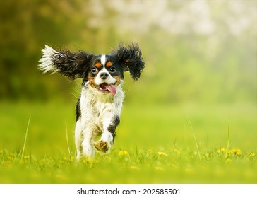 fun and beautiful cavalier king charles spaniel dog running in s