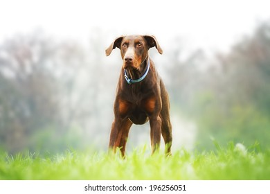 fun brown doberman nature