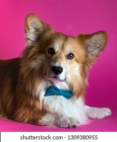 fun corgi fluffy dog a man with a bow tie at the pink background