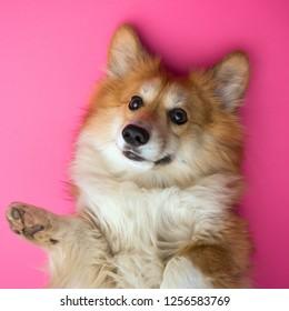 fun corgi fluffy dog at the pink background
