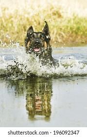fun german shepherd swims in lake