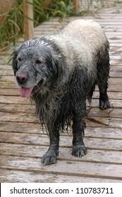 Fun golden retriever dog has been in the mud
