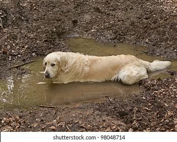 Fun golden retriever dog playing in the mud