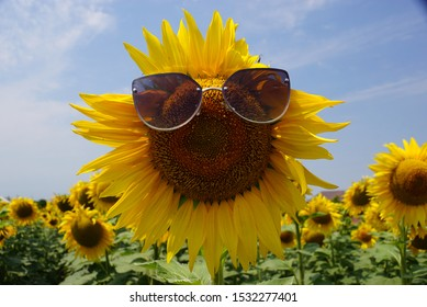 Fun sunflower in sunglasses in the field