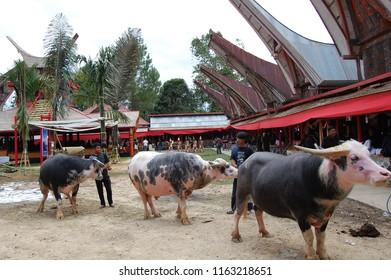 FUNERAL FUNERAL/TANA TORAJA/SULAWESI/INDONESIA-JUNE 2012: Offering animals in the Toraja funeral
