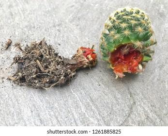 Fungal disease in cactus on the floor background