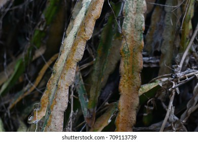 Fungal disease in dragon fruit
