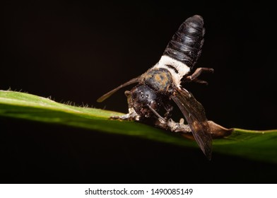 Fungal Infection in Nomad bee while gripping leaf with mandible and dead.