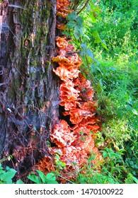 fungi called sulphur polypore, Laetiporus sulphureus,