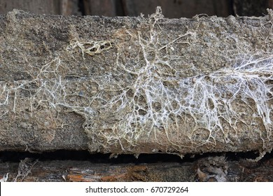 fungus attack on wooden beam, mycelium of Serpula lacrymans and Fibroporia vaillantii