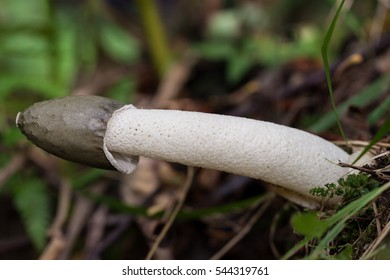 Fungus Common stinkhorn (Phallus impudicus) in natural environment