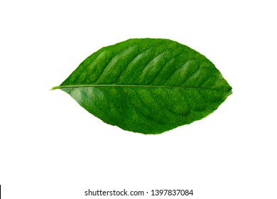 Fungus disease on citron or lime leaf isolated on white backgorund.