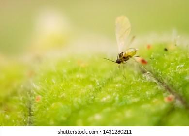 Fungus gnat macro shot on a leaf