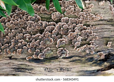 A fungus growing on a flat dead wood or bark surface. Due to its colorful pattern the fungus is called Turkey Tail. A natural background texture showing the circle of life.