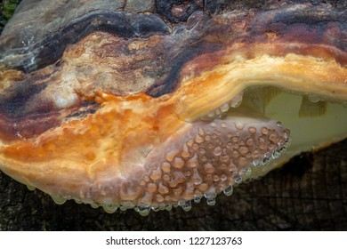 Fungus has attached itself to a rusty metal object. The fungus is oozing water and shows droplets. The fungus is orange and yellow. It is a closeup.