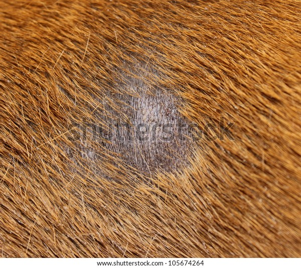 fungus infection combined with staphylococcus on dog skin