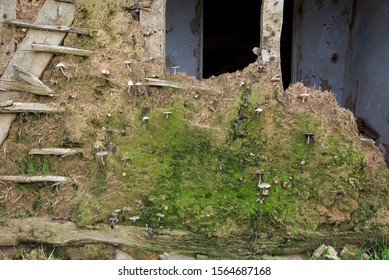 """Fungus: mushrooms grow in the west-facing wall of an old French house constructed with """"Torchis"""", or wattle and daub"""