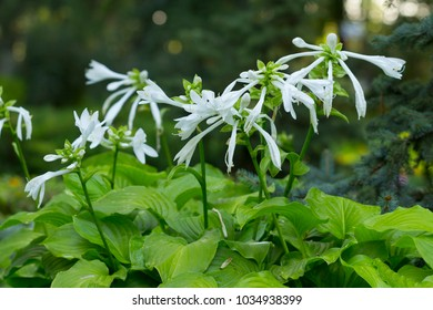 White flower hosta leaves images stock photos vectors shutterstock funkia hosta lancifolia plant with beautiful white flowers growing in the fowerbed mightylinksfo