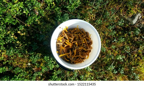 Funnel chanterelles or yellowfoot mushrooms in a white bucket on green forest surface. Delicious edible fungi. Photographed in Northern Carelia, Finland.