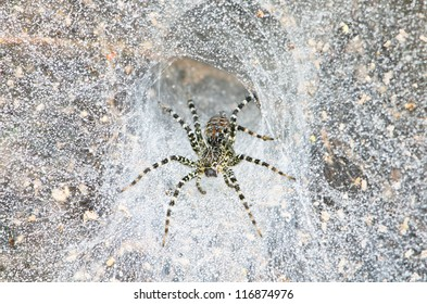 Funnel Web Spider out on his funnel web