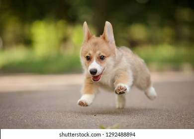 funni running smiling happy pembroke whelsh corgi puppy outdoor