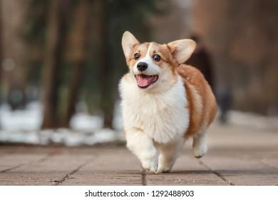 funni running smiling happy pembroke whelsh corgi puppy outdoor