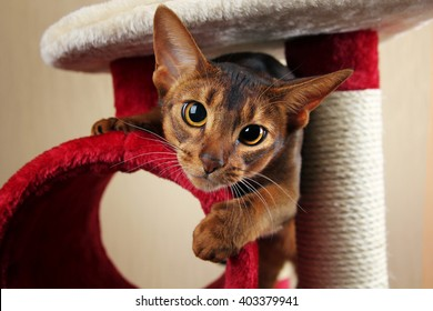 Funny abyssinian cat jumps out of cat house
