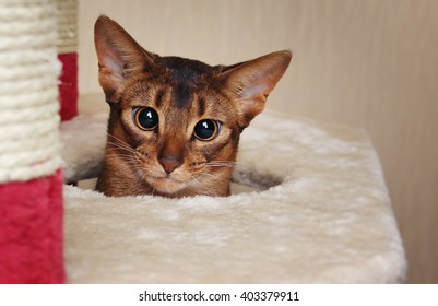 Funny abyssinian cat looks out of a hole in cat house