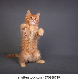 Funny adorable red solid maine coon kitten standing on two back feet with beautiful brushes on the ears on grey background and looking up.