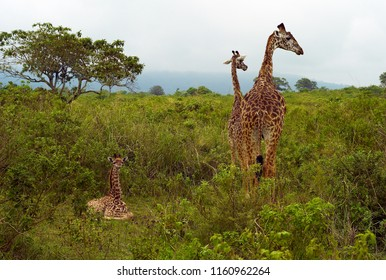 Funny Adult and Baby Giraffes among Green Vegetation in Arusha National Park, Tanzania