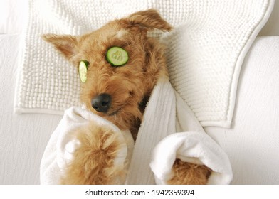 Funny airedale terrier dog photograpy cute spa Day laying bed relax beauty mask