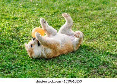 A funny Akita Inu puppy, 8 weeks old female, playing with a ball in a green grass meadow, roll around on its back and exposes its belly