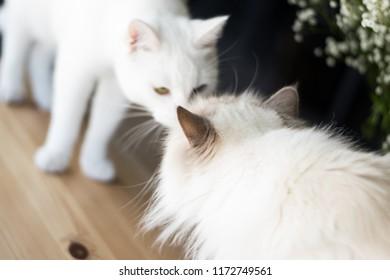 38c6e492c8 funny albino cat with odd eyes