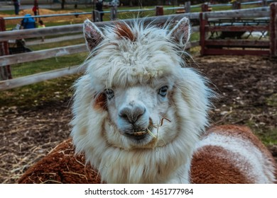 Funny alpaca with blue eyes, smile and teeth. White and brown llama in the farm close-up