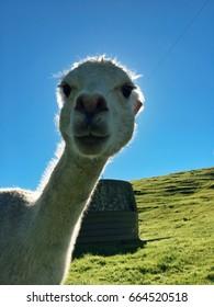 Funny Alpaca photobombing
