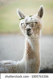 Funny alpaca with reading glasses and colored pencil in hair