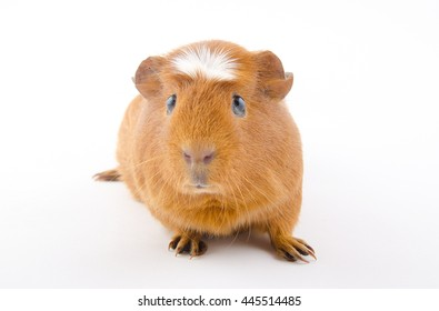 Funny American crested guinea pig (isolated on white), selective focus on the guinea pig eyes