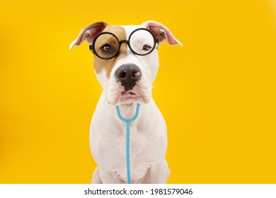 Funny American Staffordshire dog dressed as a doctor celebrating carnival, halloween or new year. Isolated on yellow colored background
