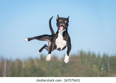Funny american staffordshire terrier dog with crazy eyes flying in the air